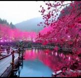 Cherry-Blossom-Lake-Sakura-Japan