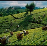 Tea-Harvest-Sri-Lanka