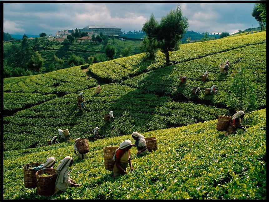 Tea-Harvest-Sri-Lanka